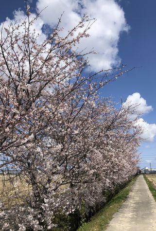青空の下で優雅に咲いている桜