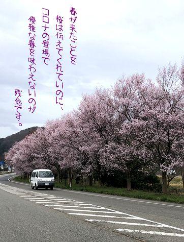 桜が開花したけれど